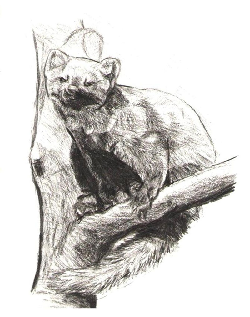 Image of Marten to print and color