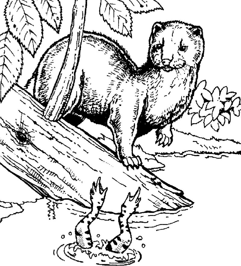 Mink Coloring Page Minnesota Trappers Association