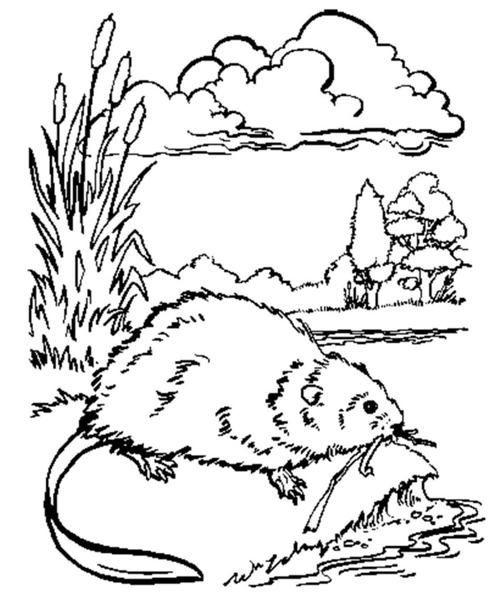 Image of muskrat to print and color