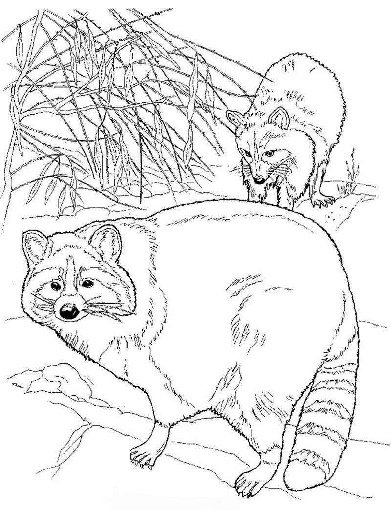 Image of Raccoon to print and color