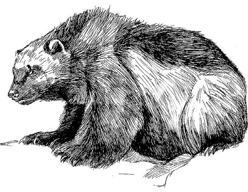 Image of a Wolverine to print out and color.
